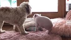 Доказ дека прасето и кучето може да се другари